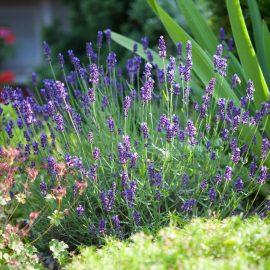 Blütenküche - Pflanzen mit Geschmack - Essbare Blüten - Lavendel - Franks kleiner Garten