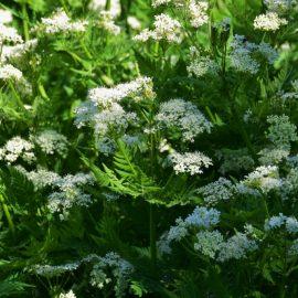 Blütenküche - Pflanzen mit Geschmack - Essbare Blüten - Süßdolde - Myrrhis odorata - Franks kleiner Garten