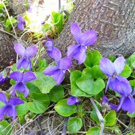 Blütenküche - Pflanzen mit Geschmack - Essbare Blüten - Veilchen - Viola - Franks kleiner Garten