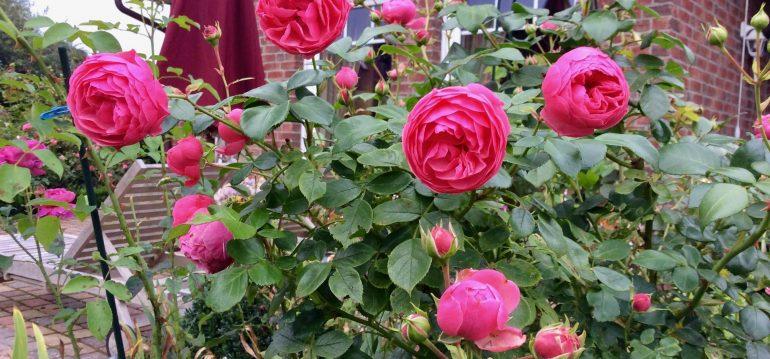 Rosen - Rosenkrankheiten - Gartenidylle - Sternrußtau - Blütenküche - Pflanzen mit Geschmack - essbare Blüten - Rosen - In meinem garten - Franks kleiner Garten