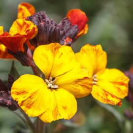 Duftgarten - Duftende Pflanzen - Blütenpracht - Goldlack - Franks kleinr Garten