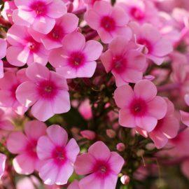 Duftgarten - Duftende Pflanzen - Blütenpracht - Phlox - Franks kleiner Garten