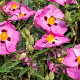 Duftgarten - Duftende Pflanzen - Blütenpracht - Zistrosen - Franks kleiner Garten