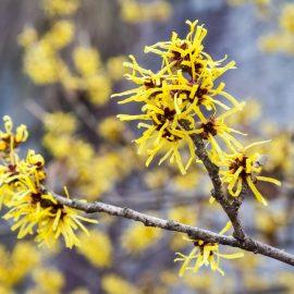 Duftgarten - Duftende Pflanzen - Blütenpracht - Zaubernuss - Franks kleiner Garten