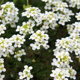Duftgarten - Duftende Pflanzen - Blütenpracht - Duftsteinrich - Franks kleiner Garten