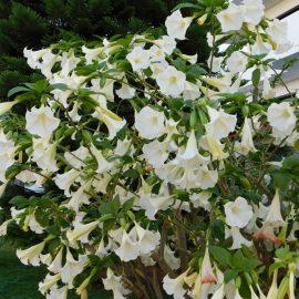 Duftgarten - Duftpflanzen - Blütenpracht - Engelstrompete - Franks kleiner Garten