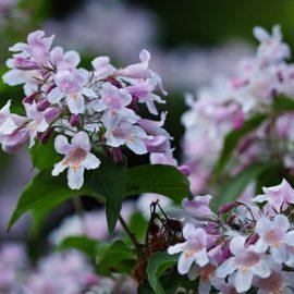 Duftgarten - Duftpflanzen - Blütenpracht - Kolkwitzia - Franks kleiner Garten