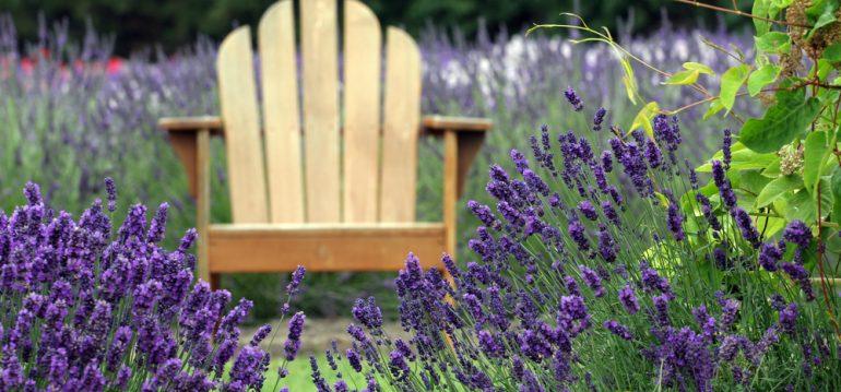Duftpflanzen - Blütenpracht - Lavendel - Franks kleiner Garten