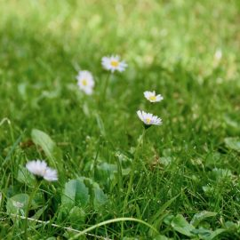 iMow - Stihl - Mähroboter - Rasen - Gänseblümchen - Franks kleiner Garten