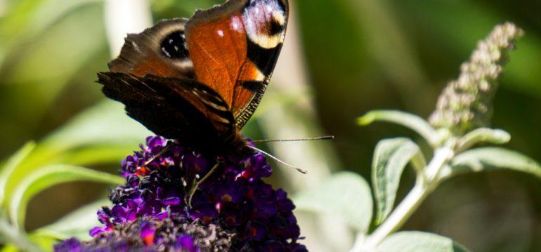 Biogarten - Schmetterling - Tagpfauenauge - Franks kleiner Garten