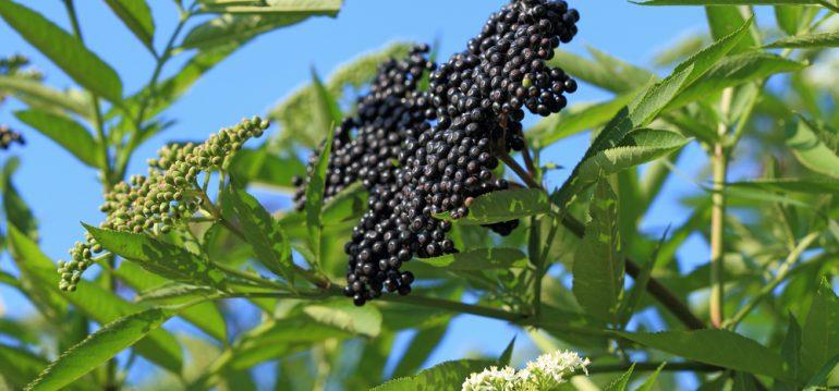 Biogarten - schwarzer Holunder - Hecke - Busch - Baum - Franks kleiner Garten