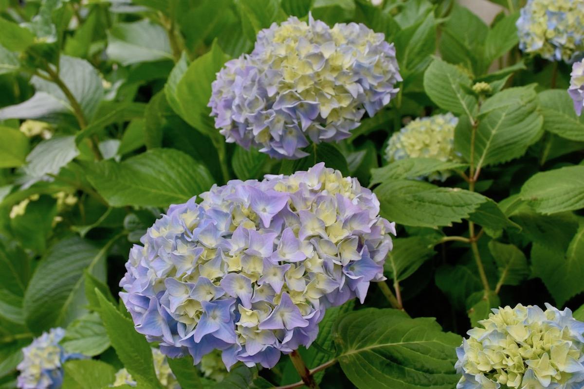 Gartentipps - Garten - Hortensien - günstige Pflanzen - Stecklinge - Franks kleiner Garten