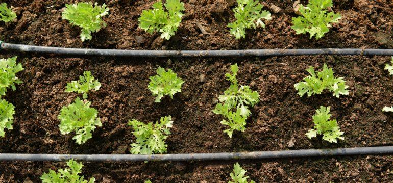 Garten - Gartenanfänger - Gartentipps - Bewässerung - Tropfschlauch - Franks kleiner Garten