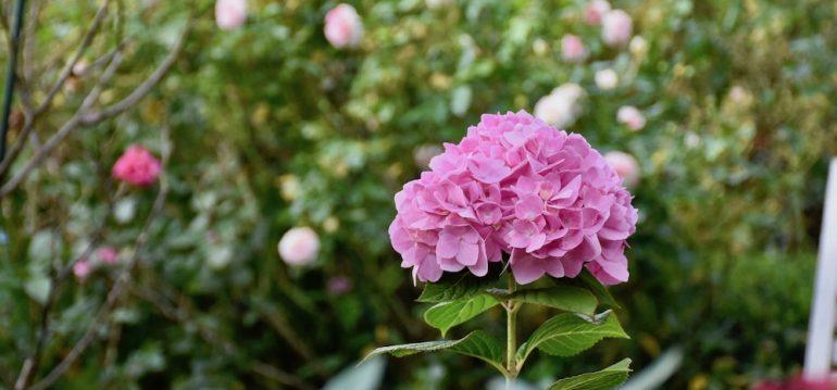 Herbstlaub - Hortensie - Herbst - Laub - Winterschutz - Franks kleiner Garten