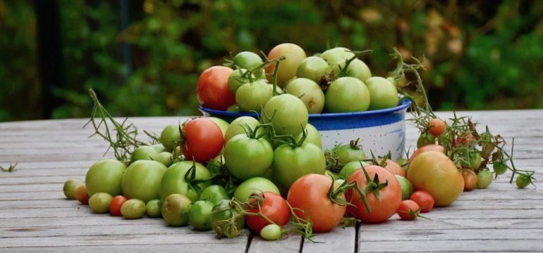Hoklartherm - Gewächshaus - Tomaten - Ernte - Herbst - Oktober - Franks kleiner Garten