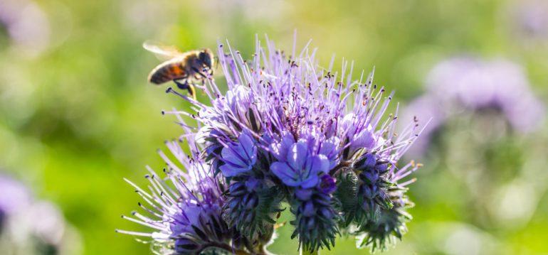Insekten - Bienenweide - Büschelblume - Franks kleiner Garten