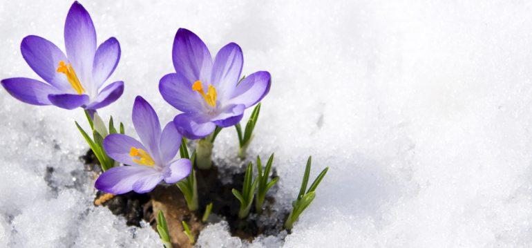 Insekten - Frühblüher - Krokusse - Schnee - Frühling - Winter - Franks kleiner Garten