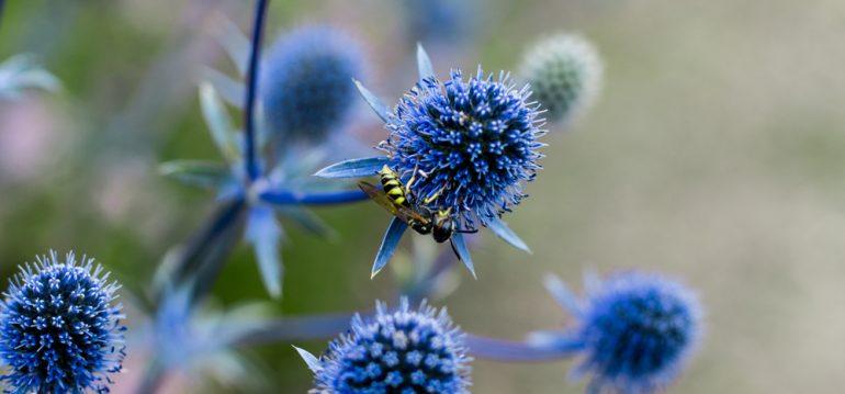 Insekten - Garten - Kugeldistel - Franks kleiner Garten