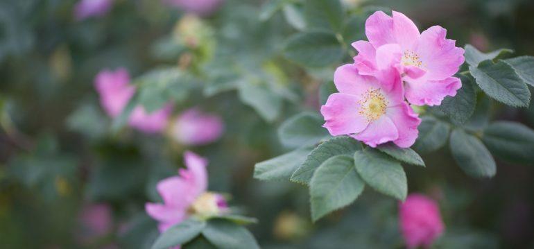 Insekten - wilde Rose - Blüte - Romantisch - Franks kleiner Garten
