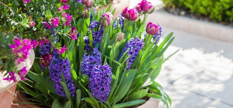 Gewächshaus - Hoklartherm - Tulpen - Hyazinthen - Tontopf - Franks kleiner Garten