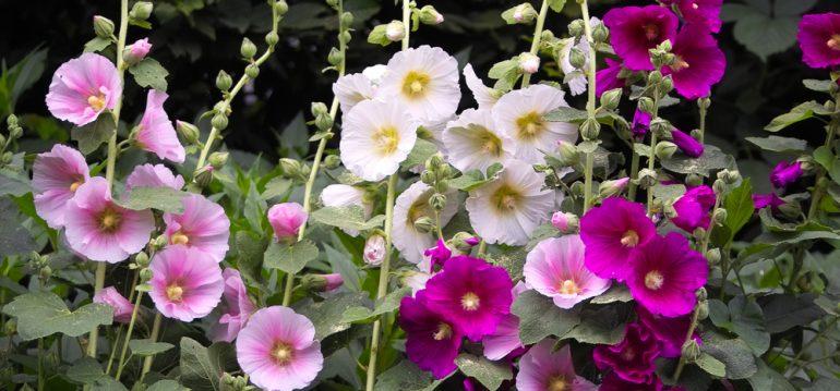 Herbst - Herbstpflanzung - Stockrosen - Franks kleiner Garten