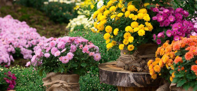 Chrysanthemen - Garten - Gewächshaus - Frühling - Winter - Herbst - Franks kleiner Garten