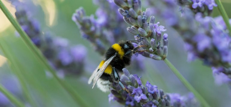 Gewächshaus - Hoklartherm - Hummel - Lavendel - Frühling - Franks kleiner Garten