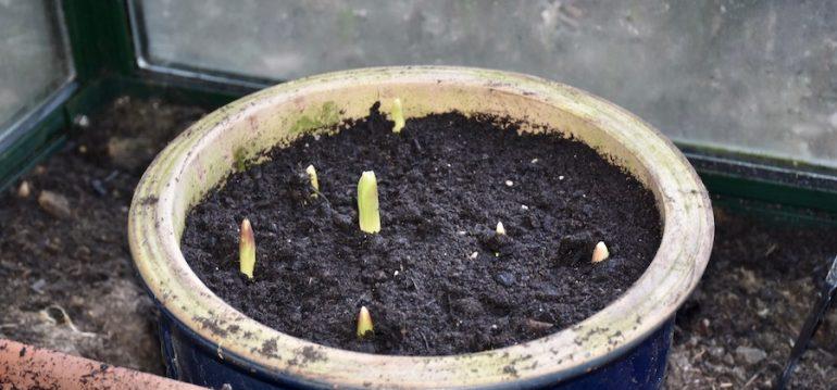 Gewächshaus - Januar - Tulpen - Topf - Franks kleiner Garten