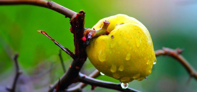 Chaenomeles - Zierquitte - Frucht - Gelb - Franks kleiner Garten