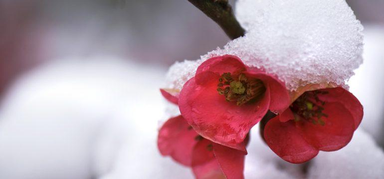 Chaenomeles - Zierquitte - Winter - Schnee - Rote - Blüte - Frank kleiner Garten