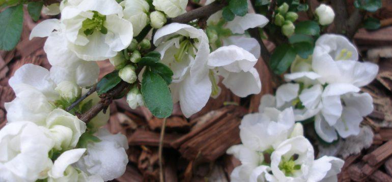 Chaenomeles - Zierquitte - Yukigoten- Franks kleiner Garten