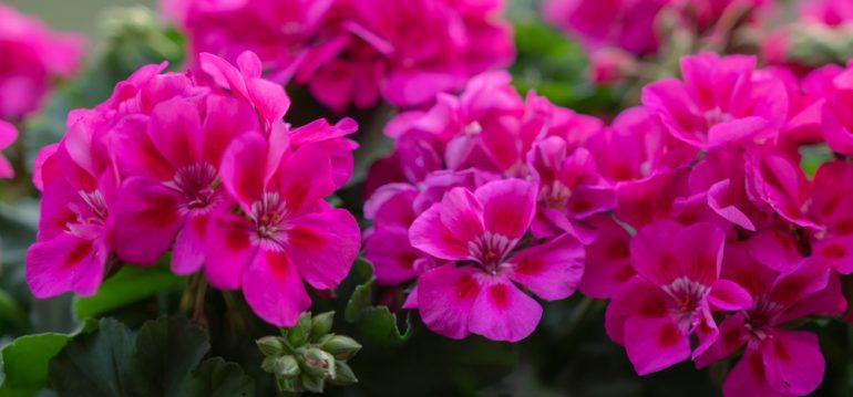 Februar - Geranien - Blüten - Balkon - Terrasse - Franks kleiner Garten