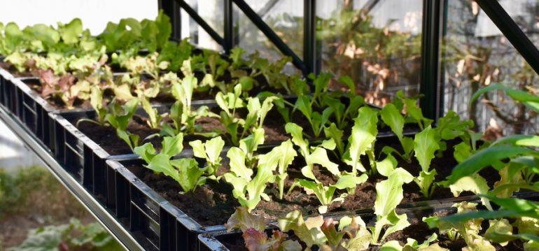 Gewächshaus - Blattsalate - Pflanzkästen - Zöglinge - Franks kleiner Garten