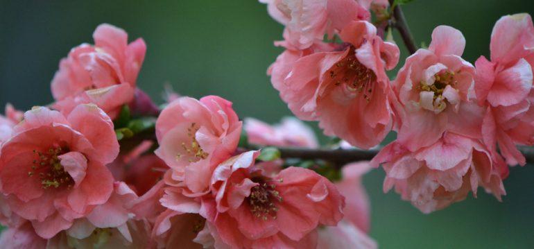 Zierquitte - Winter - Frühling - Blüten - Rose - Franks kleiner Garten