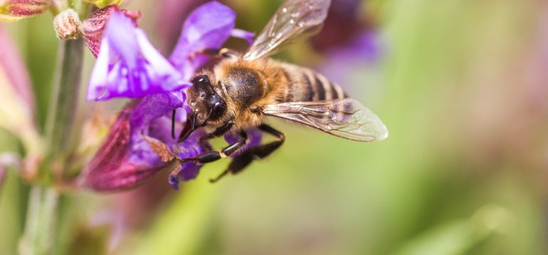 Biene - Salbei - Wiese - Garten - Franks kleiner Garten