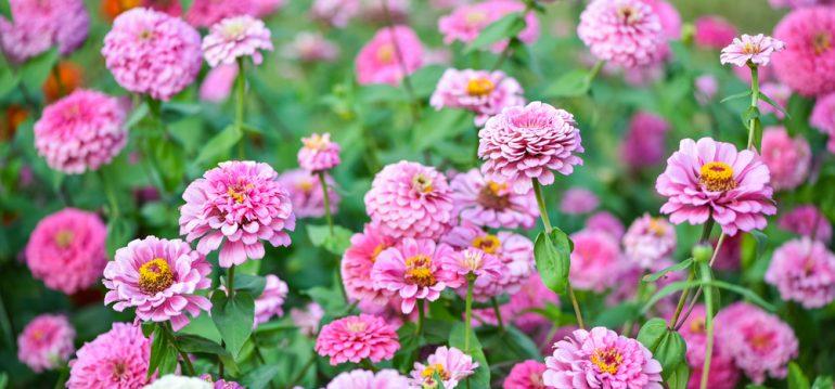 Blütenzauber - Frühling - Sommer - Zinnien - Franks kleiner Garten