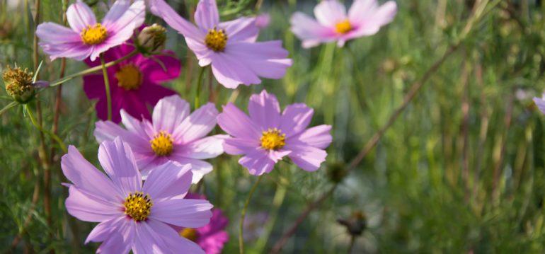Blütenzauber - Kosmeen - Blüten - Frühling - Sommer - Franks kleiner Garten