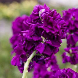 Blütenzauber - Samentütchen - Levkojen - Beetpflanze - Einjährig - Franks kleiner Garten