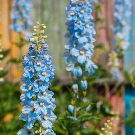 Blütenzauber - Samentütchen - Rittersporn - Einjährig - Franks kleiner Garten