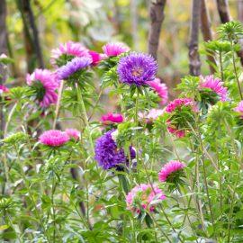 Blütenzauber - Samentütchen - Sommeraster - Einjährig - Franks kleiner Garten