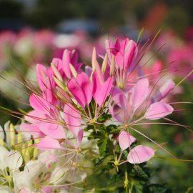 Blütenzauber - Spinnenblume - Cleome - Garten - Samentütchen - - Franks kleiner Garten