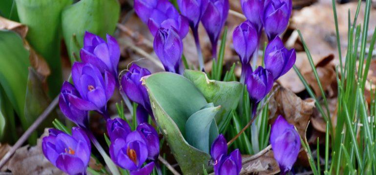 April - Frühling - Frühblüher - Insekten - Bienen - Krokusse - Garten - Franks kleiner Garten