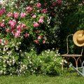 Rosen - Roenkrankheiten - Sternrußtau - Rosengarten - Frühling - Sommer - Gartenidylle - Franks kleiner Garten