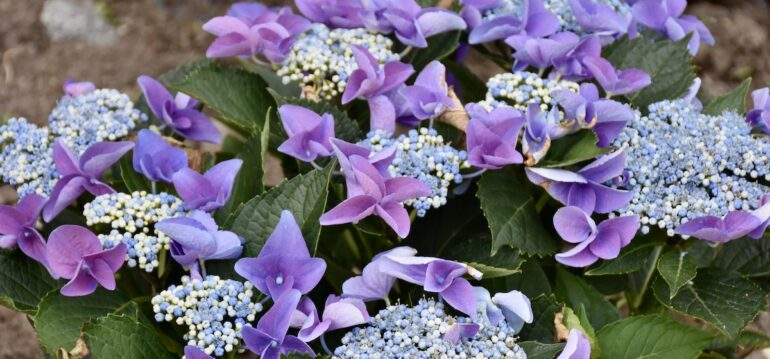 Hortensie - Hydrangea - Tellerhortensie - Beet - Juni 2021 - Franks kleiner Garten