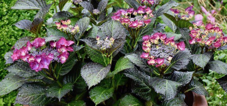 Hortensien - Kübel - Juni - Franks kleiner Gartenjpeg
