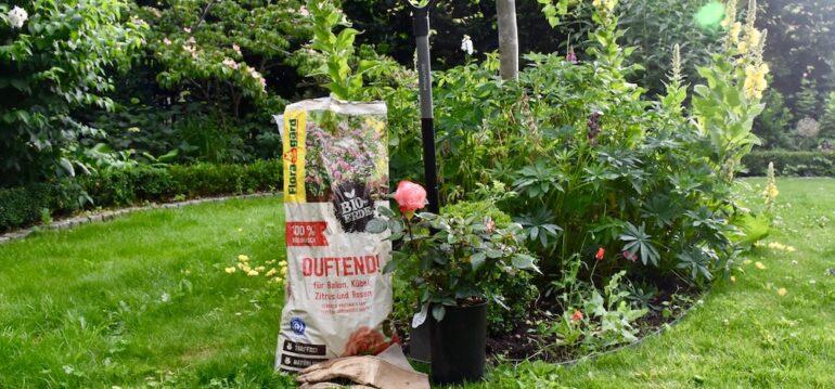 Rosen - Floragard - Bio Erde - Duftend - Nostalgie - Tantau -Sommer 2020 - Franks kleiner Garten. jpeg