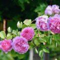 Rosen - August - Garten - Sommer 2020 - David Austin - Franks kleiner Garten