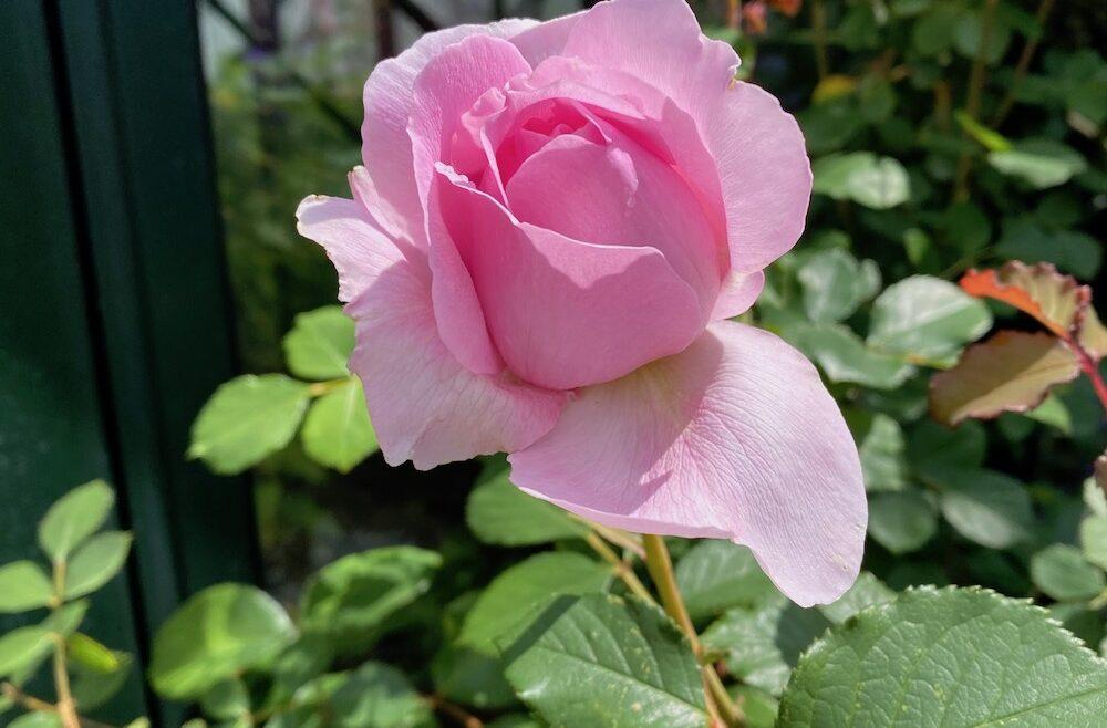 Rosen - Garten - Sommer 2020 - Englische - wächst vorm Gewächshaus - Franks kleiner Garten
