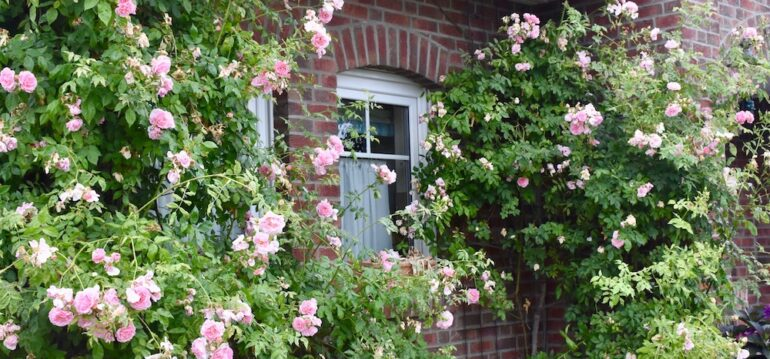 Rosen - Kletterrose - Kir Royal - Sommer 2020 - Franks kleiner Garten
