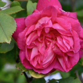 Rosen - Strauchrose - Beet an der Terrasse 2 - Sommer 2020 - Franks kleiner Garten
